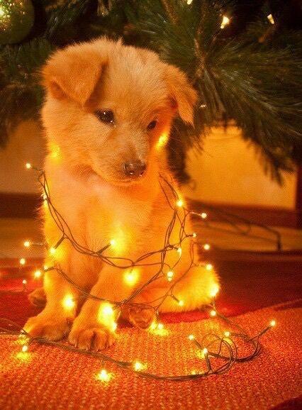 Untangling Christmas lights can be a ruff job!