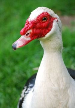 Muscovy duck info • We kept Muscovy ducks for years. Great eggs though not high producing. Their meat is similar to lean roast beef. They are more like geese than ducks and aren't purely related to either species. Drakes could be aggressive but were fun to have around.