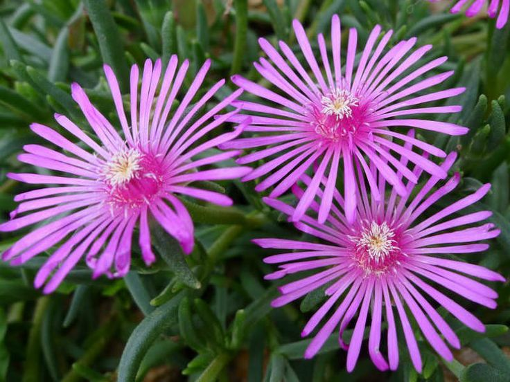 Delosperma cooperi - Trailing Ice Plant, Purple Ice Plant is a perennial evergreen succulent, with needle-like leaves studded with...
