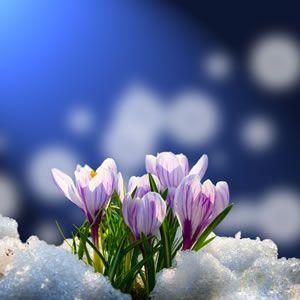 Krokus - Pflanzen, Pflege und Vermehren der Krokusse - Krokusse im Schnee