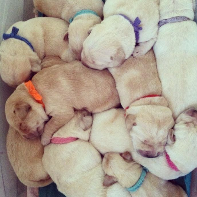 Newborn yellow lab puppies. This is the sweetest thing! !