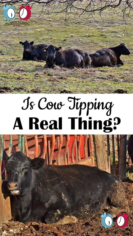 Is Cow Tipping a Real Thing? on Alarm Clock Wars. Have you ever been cow tipping? Could you tip a cow if you wanted to? Find out here!