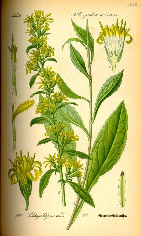 Die Goldrute gilt besonders als starkes Heilkraut bei Nierenleiden, sie ist auch als Wundheilkraut bekannt und ist unter anderem ein guter Fastenbegleiter.