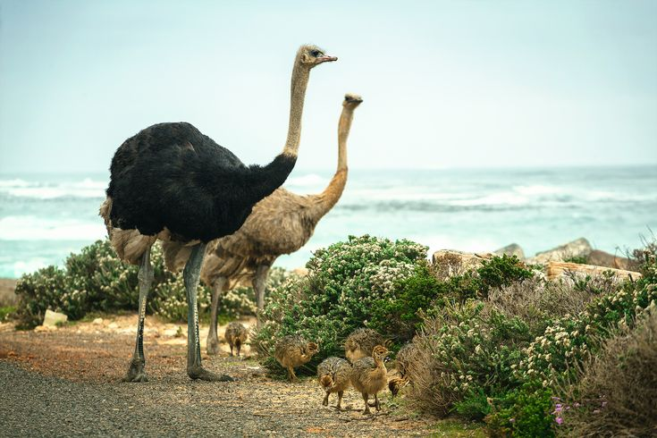 https://flic.kr/p/BZJwkt | Struthio - Family portrait | Ostrich family portrait at the Cape of Good Hope, South Africa.