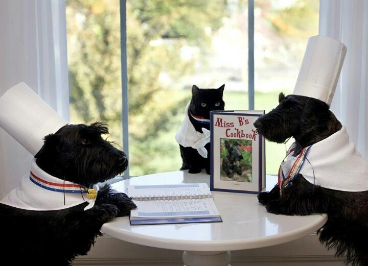 Scottish Terriers Mr. Barney Bush, Willie the cat, and Miss. Beazley Bush in chef costumes...best photo ever.