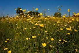 buttercup meadow - Google Search