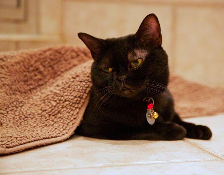 Бомбейская кошка (фото): домашняя пантера в миниатюре