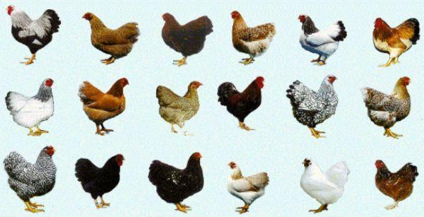 variedades de raças de galinhas