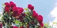 How to Grow Double Knockout Roses | eHow