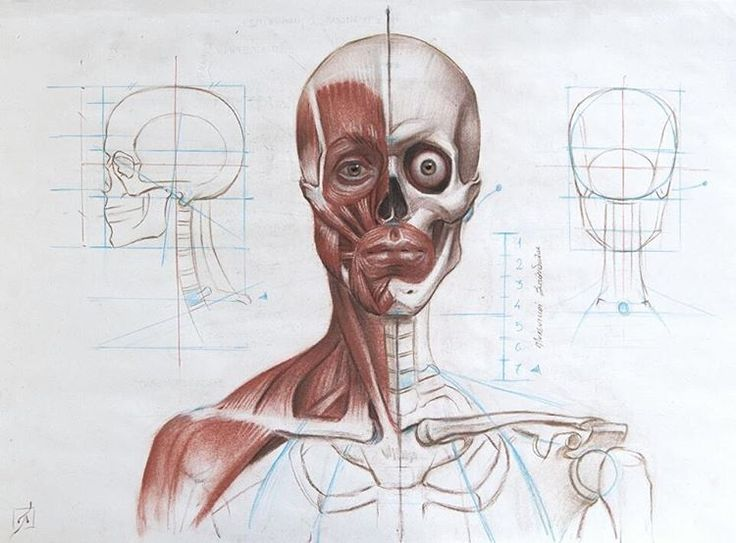 224 Best Head Anatomy Images On Pinterest Faces Anatomy Reference