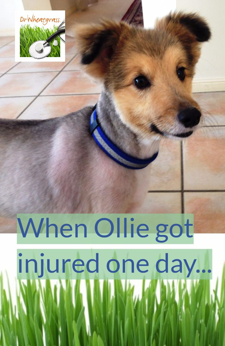 Cases & Conditions Dog wound, Wheat grass, Dog biting