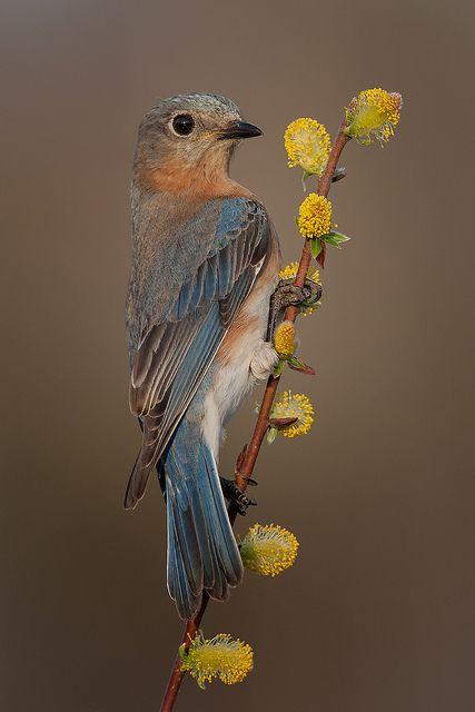 ~~Eastern bluebird, female by Phiddy1~~