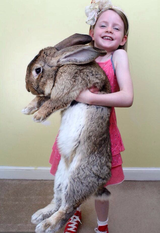 Darius: world's largest rabbit. He's over 4 Feet long and weighs 50 Pounds