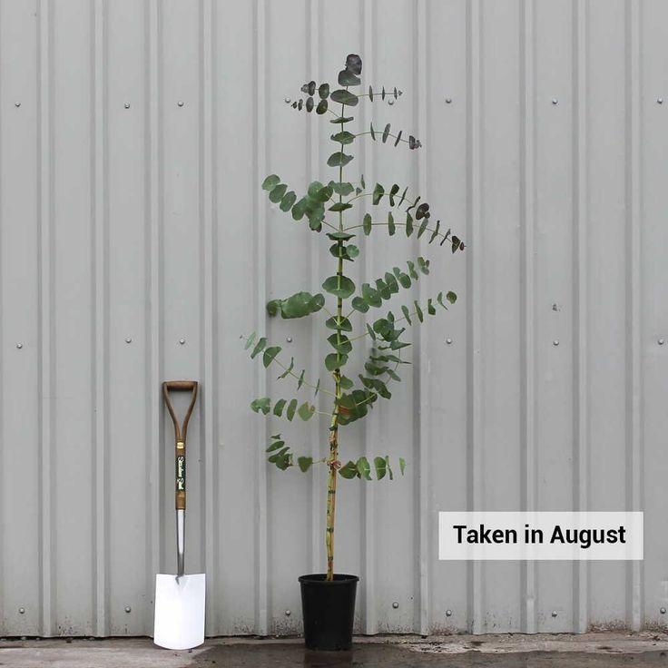 Eucalyptus Perriniana Tree