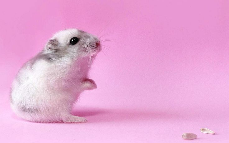 ideas about Hamster Wallpaper on Pinterest  Hamsters, Cute 1600×1000 Hamster Backgrounds (40 Wallpapers)   Adorable Wallpapers