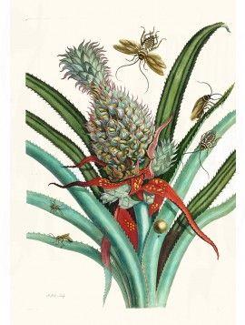 Merian Butterfly prints Pineapple Plant