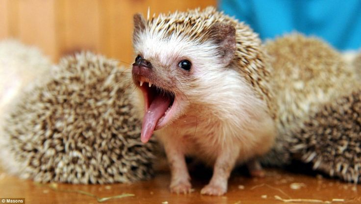 oh gosh this picture is so cute. I'm not okay with this lady letting her hedgies roam all over the house, however! So dangerous!