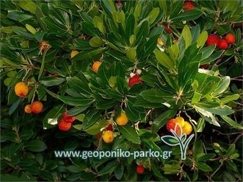Θάμνοι Καλλωπιστικοί - Φυτά Κηποτεχνίας : Κουμαριά θάμνος φυτό - Arbutus unedo