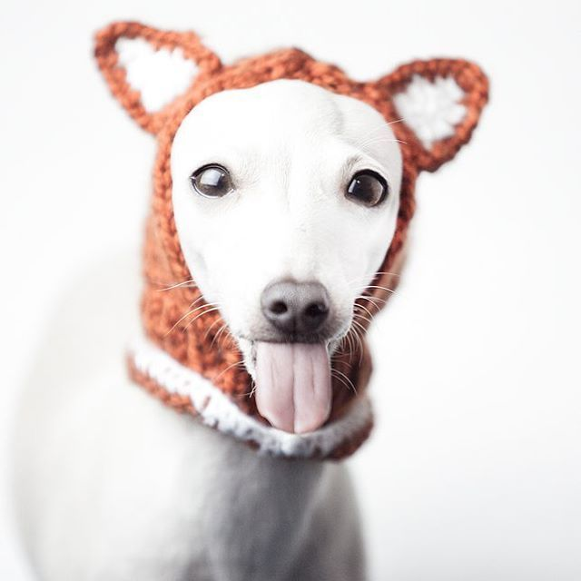 Charcik włoski w czapce  #italiansighthound #italiangreyhound #sighthound #iggy #iggylove #tongue #fox #hat #fashion #levretka #charcikwloski #chartbeat #polska #czapka #charcik #animalphotography #dog #piccololevrieroitaliano #funny #sweetface