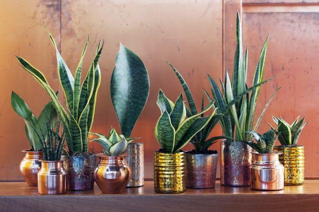 El blog de Los Peñotes: Plantas de interior purificadoras (I): Sanseviera