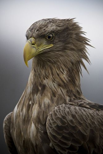 Majestic by csabatokolyi, via Flickr  Portrait of White-tailed eagle (Haliaeetus albicilla)