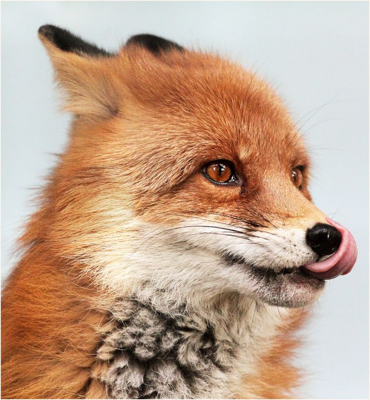 Red Fox by Natalia Nazarova on 500px