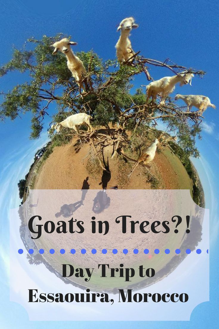 A great day trip from Marrakech, Morocco is Essaouira! You'll see goats in trees, the beach, and an Game of Thrones film location!