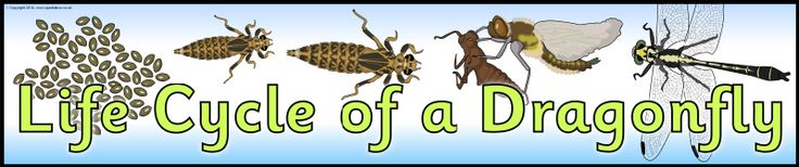 Life Cycle of a Dragonfly display banner (SB10860) - SparkleBox