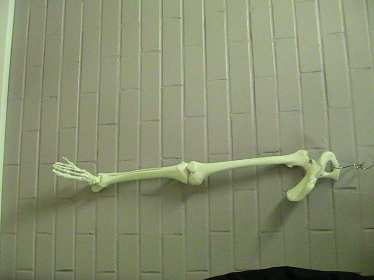 Anatomia-malli: alaraajan luiset rakenteet.