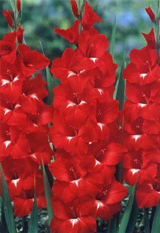 """Comprar Gladíolos """"Traderhorn"""" (Gladiolus x hortulanus) na Toca do Verde!                                                                                                                                                                                 Mais                                                                                                                                                                                 Mais"""