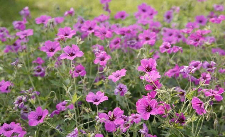 ie meisten Storchschnäbel (Geranium) blühen nur einmal. Es gibt aber einige alte und viele neue Sorten, die nach einem sogenannten Remontierschnitt im Spätsommer eine zweite Blüte zeigen.