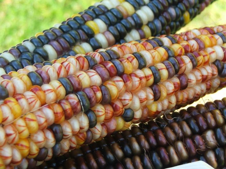 1000 Images About Indian Corn Fall S Harvest Blessing On