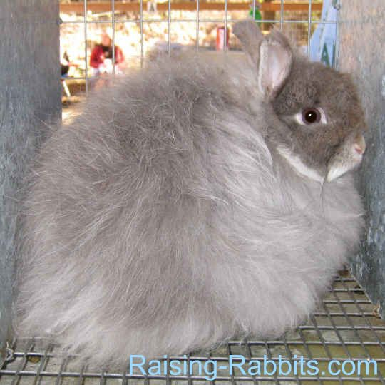 Jersey WoolyJersey Wooly Rabbit Breed        Senior Weight: Not over 3 ½ pounds.      Type: Compact      Color: Agouti, broken, AOV, self, shaded, tan      Distinctive: Petite and 3 inch wool