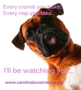 watching...always watching...  Carolina Boxer Rescue