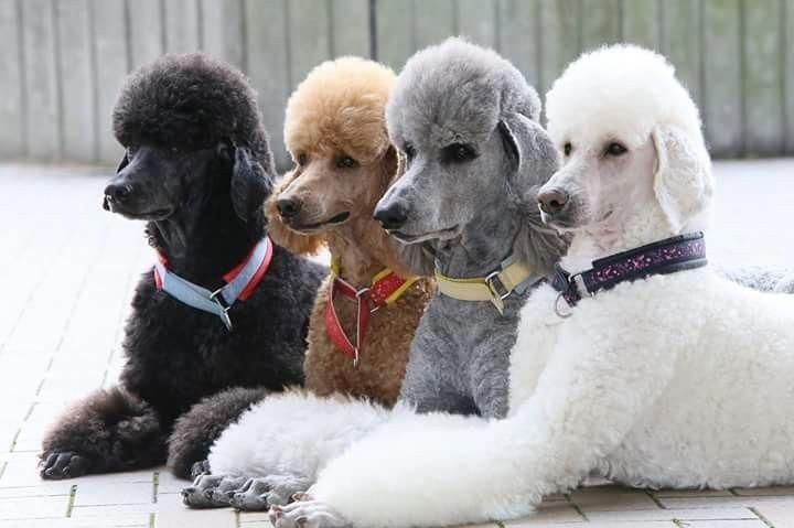 The Four Most Common Colors Of Poodles Poodlegrooming Poodle