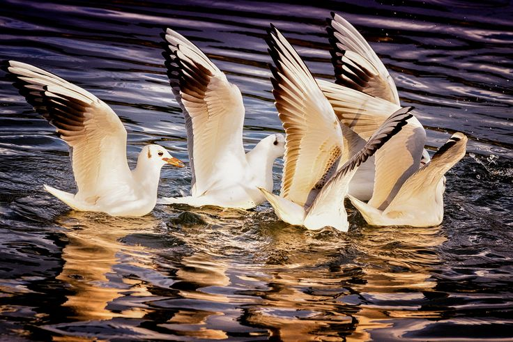 seagulls fighting over some bread - Macedonia in northern Greece