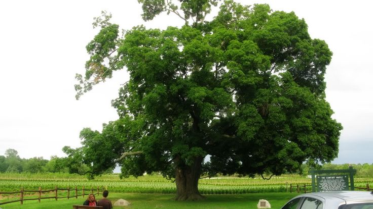 the Comfort Maple which is believed to be the oldest living sugar maple tree in Canada. It's located in Pelham, Ontario in the Niagara Region.