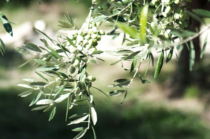 Organic olive tree