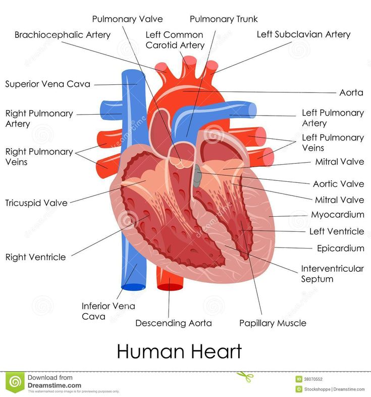 heart diagram labeled | Vector illustration of diagram of human heart anatomy.
