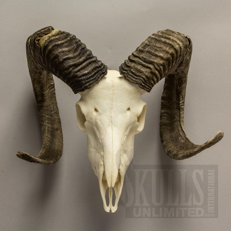 goat skull - Pesquisa Google