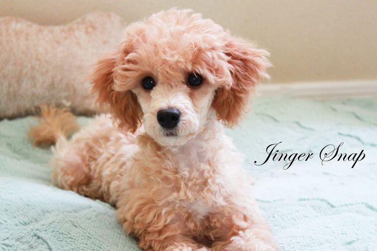 Our poodle girl Jinger Snap!