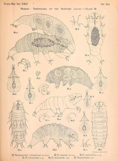 Anatomy of Tardigrada  Demonstrating the appearance of gravid tardigrades, mouthparts, and different claw-forms and exterior textures.  The Tardigrada of the Scottish Lochs: Transactions of the Royal Society of Edinburgh, Vol. XLI - Part III - No. 27. By James Murray, 1905.