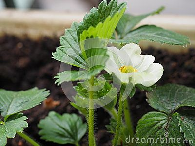 Strawberry plant flowering in spring in a window box.