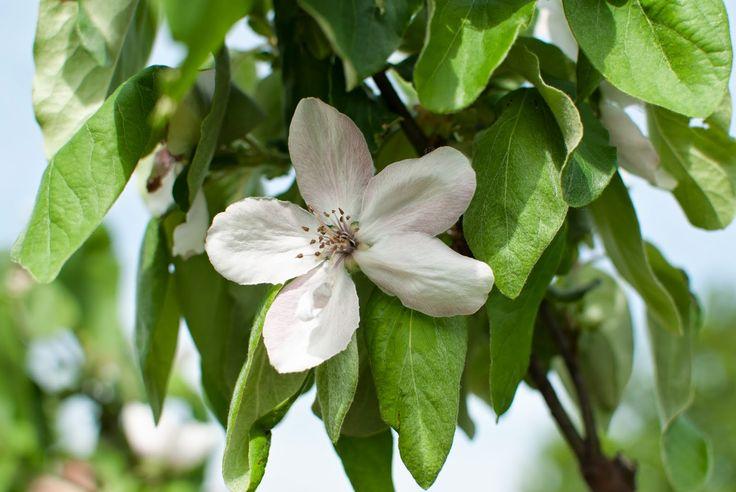 birsalma virága