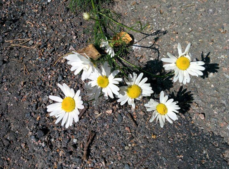 Peltosaunio eli Saunakukka (Tripleurospermum inodorum), Espoo