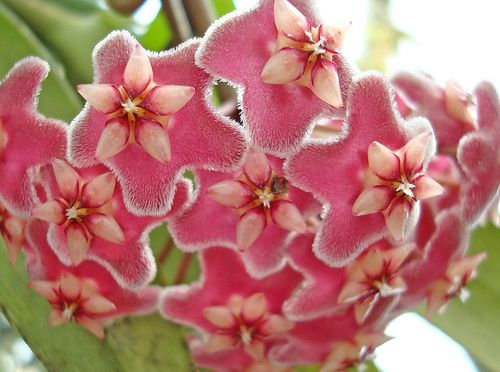 Red Flowering House Plants 28 best hoya images on pinterest | hoya plants, cacti and flower