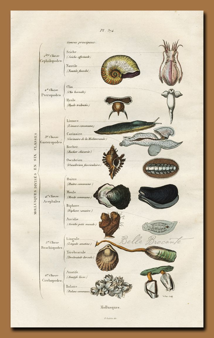 The Classification of Mollusks, 1837