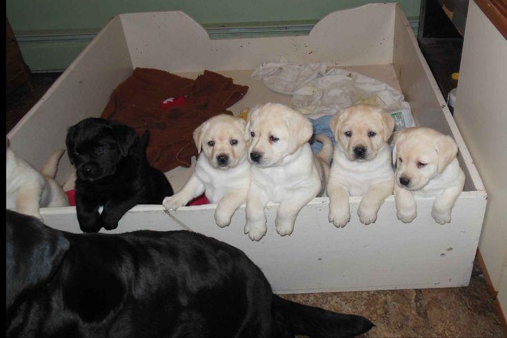 Karen miller has labrador retriever puppies for sale in