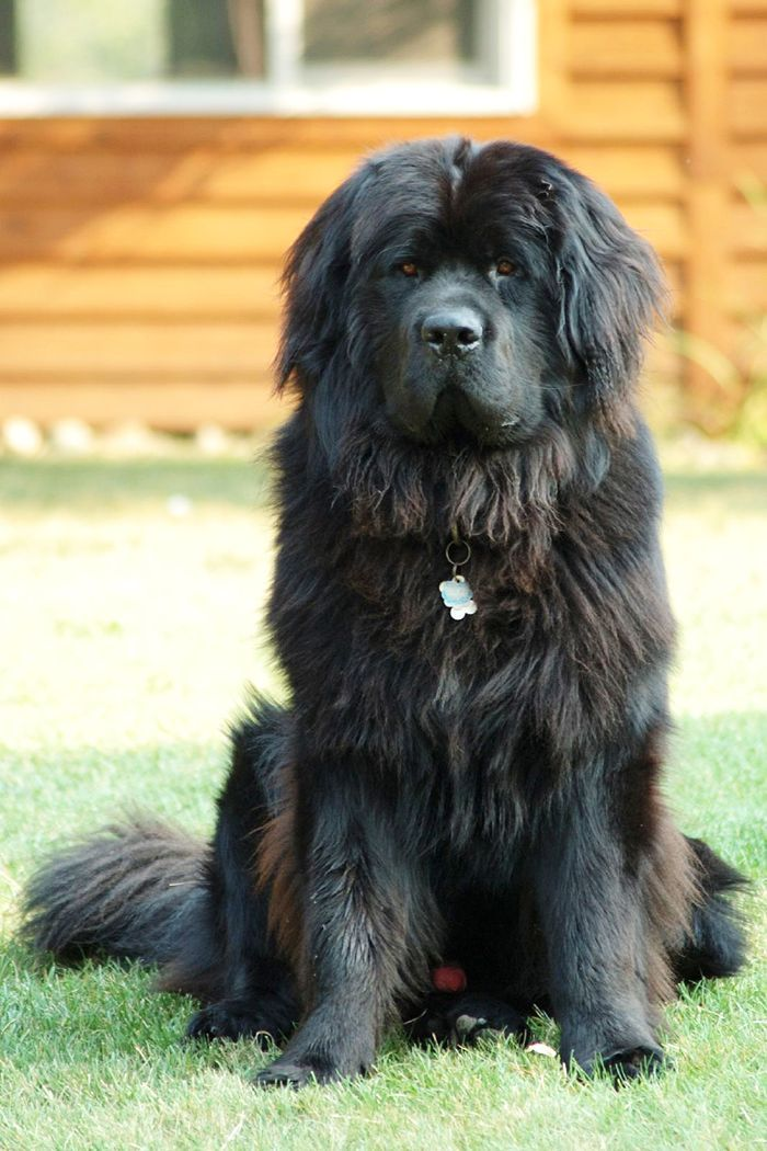 The 10 Biggest Dog Breeds In The World A Complete List Best Big Dogs Big Dog Breeds Best Big Dog Breeds