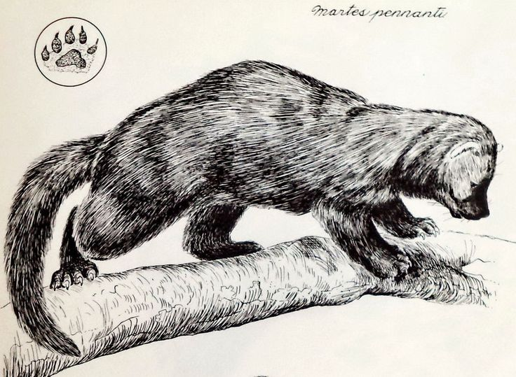 Fisher Martes Pennanti Drawing Orig 1961 Duchesnay Wildlife print Poster Art